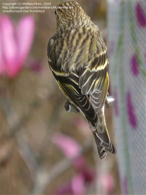 detailed information  pine siskin spinus pinus