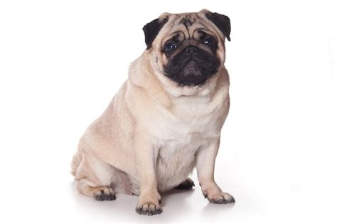 pug leg problems pug information and pictures petguide