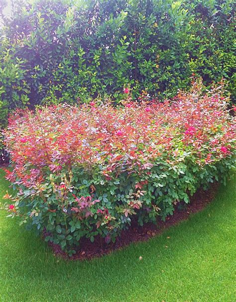arbusti sempreverdi da fiore piante da fiore da giardino arbusti sempreverdi da fiore