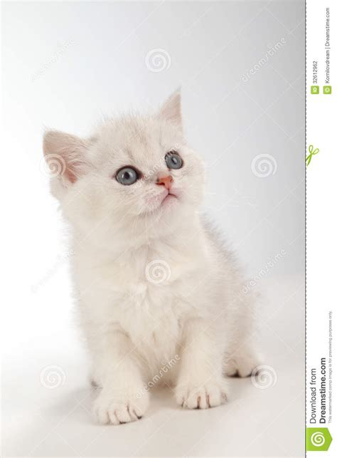 white pussy cat persian pussy cat stock photography image 32612962
