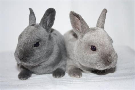 mini rex rabbit colors mini rex rabbit colors