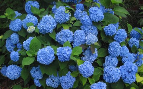 Hydrangea Macrophylla Endless Summer 4457 buy endless summer hydrangea for sale from wilson