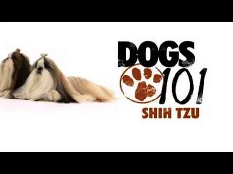 shih tzu 101 shih tzu dogs 101