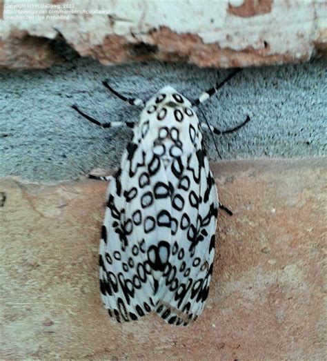 how to keep moths away from front door bug pictures leopard moth hypercompe scribonia by