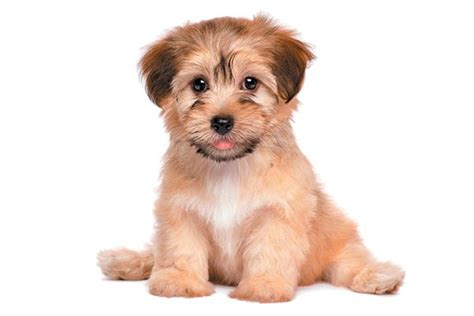 bichon havanese dogs 101 9 reasons to meet the happy go lucky havanese