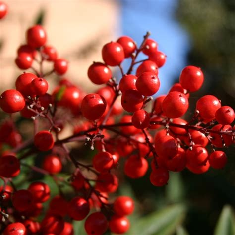 mirtillo americano in vaso mirtillo rosso americano o cranberry vaccinium