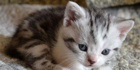 american wirehair cat breeders image gallery wirehair kitten