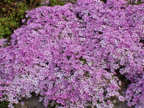 fiori perenni da bordura bassa giardinaggio fiori e tipi di piante wdonna it