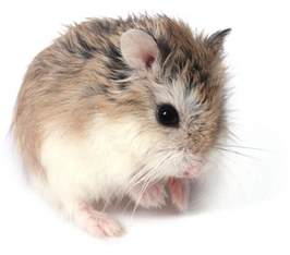 which breed of hamster should i keep package pets