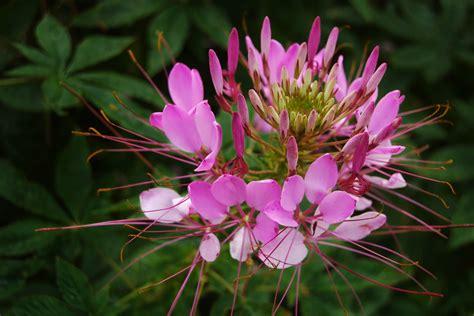 spider flower auntie dogma s garden spot