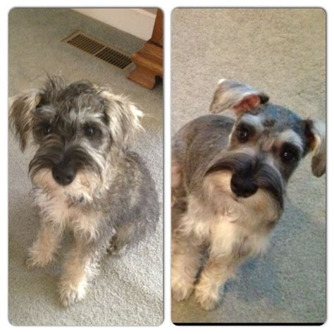 schnauzers hair cuts before and after first schnauzer haircut 4 months old