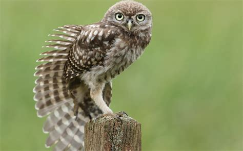 background owl owl wallpapers best wallpapers