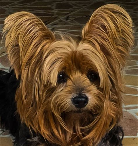 why are yorkies so why is this yorkie so irritated oversimplified statistical models