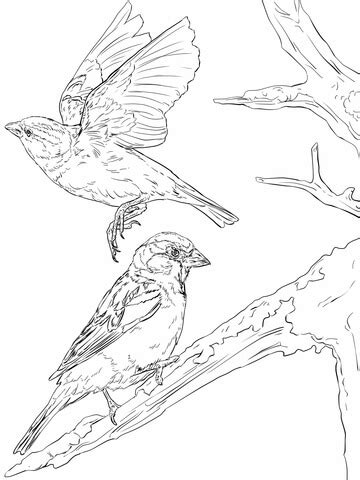 english sparrows coloring page supercoloringcom