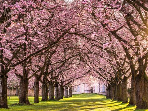 stassen fiori cherry blossom in a park andreas wonisch canvas