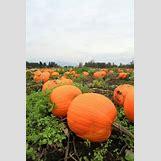 Pumpkins Growing   450 x 675 jpeg 47kB