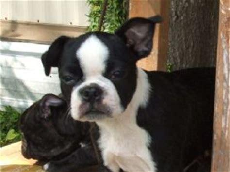 frenchton puppies florida boston terrier puppies in florida