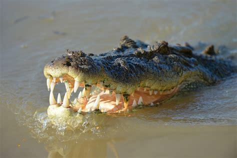 krokodil images curiosidades de los cocodrilos