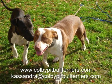 colby pitbull puppies for sale adba colby avant pit bull terriers blue or for sale adoption from wichita falls