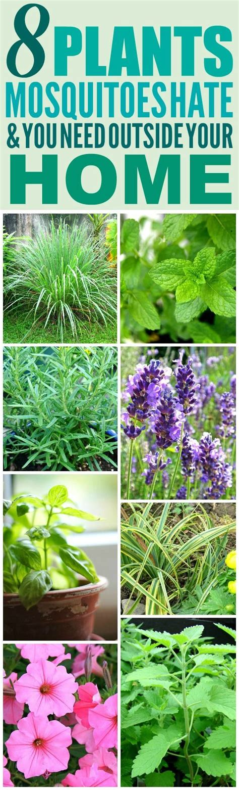 what plants keep mosquitoes away 8 amazing plants that ll repel mosquitoes and other pests