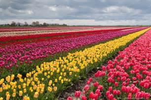 25 amazing tulip field pictures