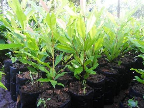 Jual Bibit Cengkeh Di Makassar jual bibit cengkeh zanzibar unggul jual bibit tanaman