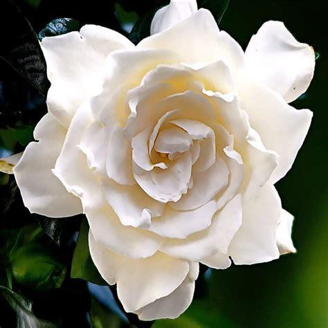 gardenia fragrance oil moksha lifestyle products