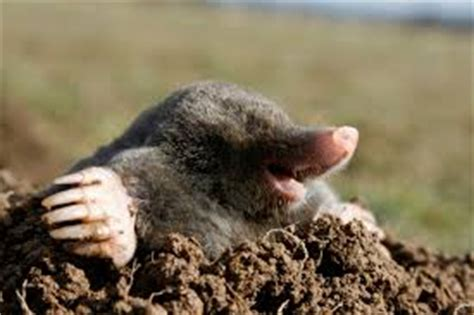 Garden Rodents Types - fun mole facts for kids