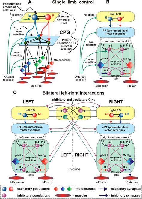 central pattern generator review organization of the mammalian locomotor cpg review of
