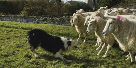 sheep herding dogs sheepdog study yields simple explanation for dogs awesome herding ability huffpost