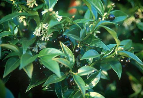 fragrant plants for shade black gold fragrant winter flowering shrubs black gold