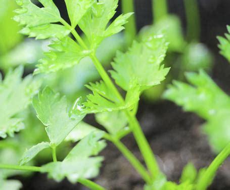coltivare sedano coltivare il sedano in balcone istruzioni e consigli per