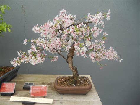 a cherry tree bonsai japanese flowering cherry bonsai tree search nature bonsai