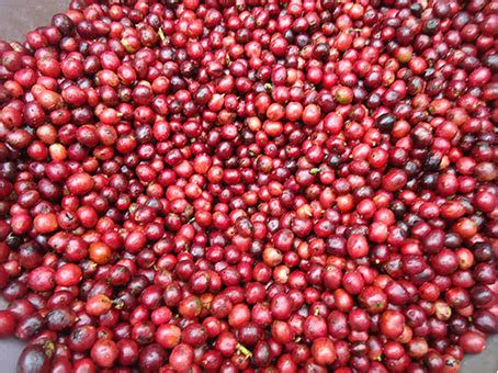 green bean robusta washed ahlikopilung