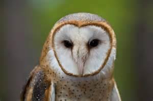 barn owl how to build or buy a barn owl nest box barn owl box company