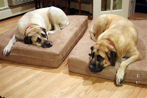 dog bed sores could your dog s bed be causing joint pain here s how to