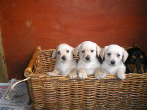 miniature westie puppies for sale miniature dachshund cross westie puppies doncaster south pets4homes