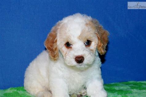 cockapoo puppies near me cockapoo puppy for sale near jonesboro arkansas 30ddf345 b4a1