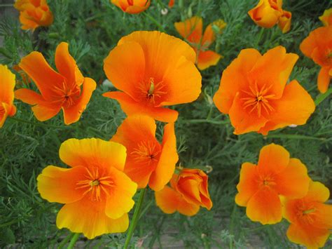 california poppy file california poppy eschscholzia californica 22 jpg