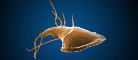 giardia picture giardia parasites cdc