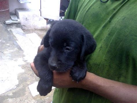 labra puppy labra 6500 for sale in beawar rajasthan classified indialisted