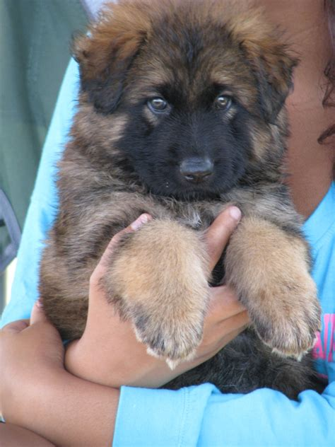 german shepherds for sale coat german shepherd puppy for sale coat german