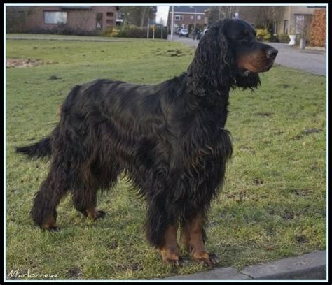 gordon setter dog temperament gordon setter not in the dog housenot in the dog house