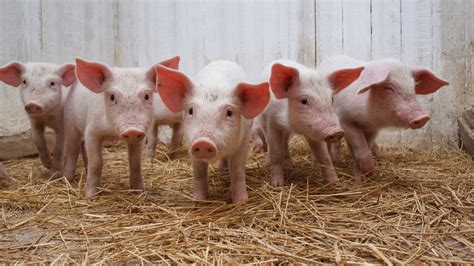 Home Design Shows Netflix by Piglet Therapy Is Our New Favorite Form Of Stress Relief