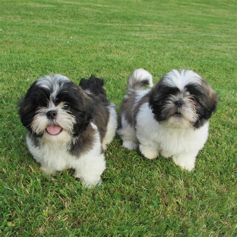 6 month shih tzu for sale shih tzu puppies for sale 1 left amazing colouring wareham dorset pets4homes
