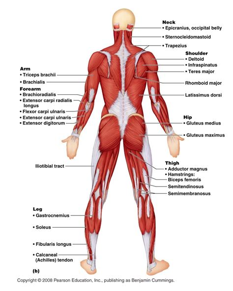 human anatomy chart page 178 of 202 pictures of human
