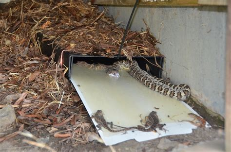 How To Catch A Snake In The House 28 Images Animal And Wildlife Trapping In