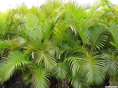 areca palm tropical palms from kipapa nursery a hawaiian plant and