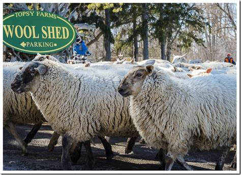 Wool Shedding Sheep by Sheep Shearing On Amherst Island Gt Thousand Islands