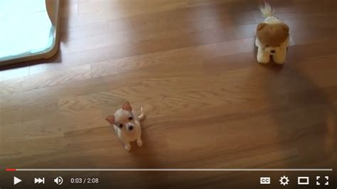 cutest in the world 2016 adorable chihuahua does tricks cutest animals in the world